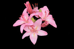 Pink lilies. On a black background isolated Stock Photo
