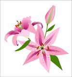 Pink Lilies on a Blue Background Royalty Free Stock Photography