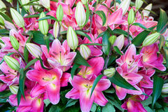 Pink lilies bouquet on a white background, green leaves Stock Photography