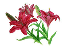 Pink Lilies with buds on the stems - watercolor painting. Lilies flowers with buds watercolor painting on white background Stock Photography