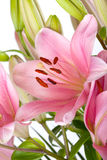 Pink Lilies with dew drops Stock Photos