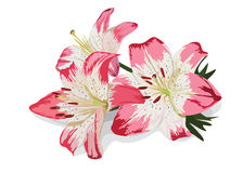 Pink lilies flower Royalty Free Stock Photo