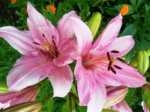 Pink lilies on flower bed in summer day Royalty Free Stock Images