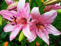 Pink lilies on flower bed in summer day Stock Photos