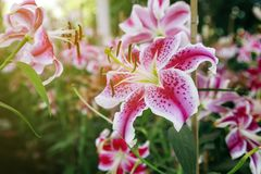 Pink Lilies flower close up Royalty Free Stock Images