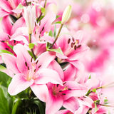 Pink Lilies Royalty Free Stock Photo