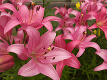 Pink lilies in a garden Stock Images