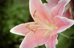 Pink Lilies in the garden,vintage style light Stock Photos