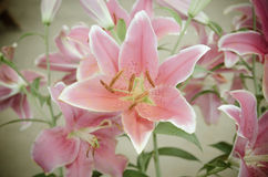 Pink Lilies in the garden,vintage style light Royalty Free Stock Photos
