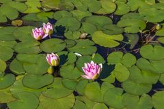 Pink lilies among green leaves Royalty Free Stock Photos