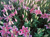 Pink lilies with green leaves by a surge in the flower garden. Pink lily Blossoming in the flower garden in the season stock image
