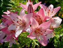 Pink lilies from group Asian hybrids Royalty Free Stock Images