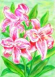 Pink lilies Stock Photos
