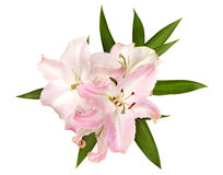 Free Pink Lilies Isolated On White Royalty Free Stock Photography - 17499957