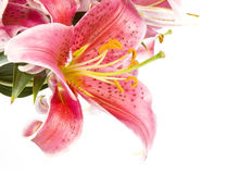Pink Lilies Isolated on White Royalty Free Stock Photo