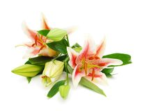 Pink lilies Royalty Free Stock Image