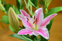 Pink lilies (Lilium)  flower Stock Images