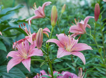 Pink lilies outdoors Royalty Free Stock Images