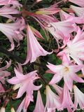 Pink lilies. In a flower bed Royalty Free Stock Images
