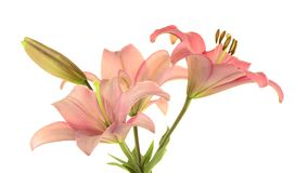 Pink lilies. Rotating on white background stock video