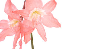 Pink Lilies On Stem Isolated on White Stock Photo