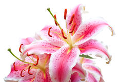 Pink lilies on white. Background. Shallow DOF Royalty Free Stock Photos