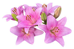 Pink lilies on white background Stock Photos