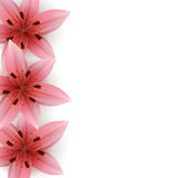 Pink Lilies Royalty Free Stock Images