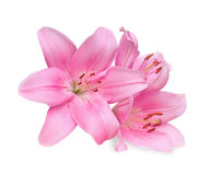 Pink lilies on white background Stock Photo