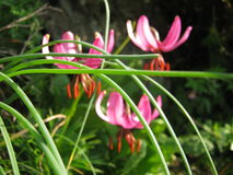 PInk lilies. PInk wild  lilies in sunlight Royalty Free Stock Photography