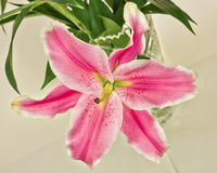 Pink lilium flower Stock Photos