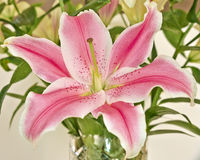 Pink lilium flower closeup Stock Images