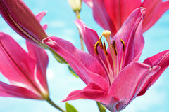 Pink Lilium Flowers. On a Blue Pond Background Royalty Free Stock Image