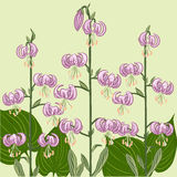 Pink Lilium martagon flowers Stock Image