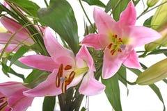 Pink Lilium in studio Royalty Free Stock Images