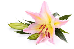 Pink liliy. Stock Photo