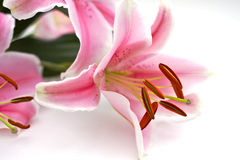 Pink Lillies Closeup. Close Up of pink lillies on white Stock Images