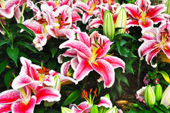 Pink lilly Stock Images