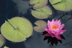 Pink Lilly. Floating in a pond with pads stock photos