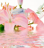 Pink Lilly Stock Image
