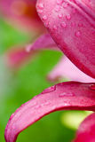 Pink lilly flower with water drops Royalty Free Stock Images