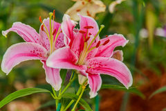Pink lilly in the garden and tone color. Stock Photos