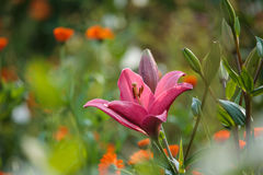 Pink lilly Lilium flower closeup in the summer. Garden Royalty Free Stock Images