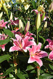 The pink lilly Stock Photo