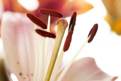 Free Pink Lilly Petals And Stamen With Pollen Macro Flower Wallpaper Royalty Free Stock Photo - 190120385