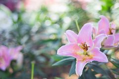 Pink lilly. In the garden Royalty Free Stock Photos