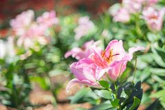 Pink lilly. In the garden Stock Photography
