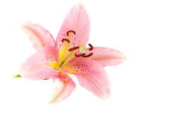 Pink lily. Isolated on white Royalty Free Stock Image