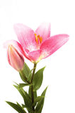 Pink lily. Pink flower isolated on the white background stock photos