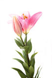 Pink lily. Pink flower isolated on the white background stock photography
